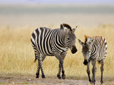 Zebra and Juvenile Zebra on the Maasai Mara, Kenya Photographic Print by Joe Restuccia III