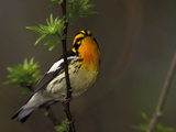 Male Blackburnian Warbler in Breeding Plumage, Pt. Pelee National Park, Ontario, Canada Papier Photo par Arthur Morris