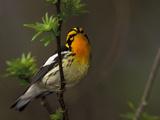 Male Blackburnian Warbler in Breeding Plumage, Pt. Pelee National Park, Ontario, Canada Photographic Print by Arthur Morris