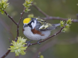Close-up of Male Chestnut-Sided Warbler on Tree Limb,  Pt. Pelee National Park, Ontario, Canada Photographic Print by Arthur Morris