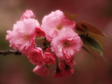 Close-up of Cherry Blossoms at Osaka Cherry Blossom Festival, Osaka, Japan Fotografie-Druck von Nancy & Steve Ross