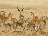 Impalas Roaming the Fields, Maasai Mara, Kenya Lmina fotogrfica por Joe Restuccia III