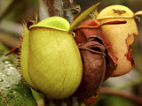Pitcher Plant, Sarawak, Borneo, Malaysia Photographic Print by Jay Sturdevant