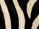 Close-up of Zebra Stripes, Masai Mara, Kenya Photographic Print by Arthur Morris