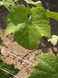 Pinot Noir Leaf, Champagne Francois Seconde, Sillery Grand Cru, Montagne De Reims, Marne, France Photographic Print by Per Karlsson