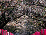 Pink Lanterns on Canopy of Cherry Trees in Bloom, Kamakura, Japan Photographic Print by Nancy & Steve Ross