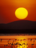 Flock of Lesser Flamingos Reflected in Water at Sunrise, Amboseli National Park, Kenya Photographic Print by Arthur Morris