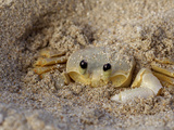 Emerald Beach Sand Crab, Lindergh Bay, St. Thomas, Us Virgin Islands, Caribbean Photographic Print by Cindy Miller Hopkins