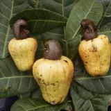 Russell Gordon - Cashew Nuts, Thailand Fotografická reprodukce
