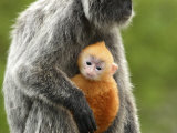 Silver Leaf Monkey and Offspring, Bako National Park, Borneo, Malaysia Photographic Print by Jay Sturdevant