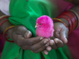 Woman and Chick Painted with Holy Color, Orissa, India Lámina fotográfica por Keren Su