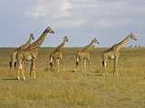 Maasai Giraffes Roaming Across the Maasai Mara, Kenya Photographic Print by Joe Restuccia III
