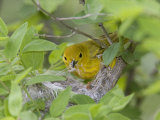 Yellow Warbler Male Building Nest,  Pt. Pelee National Park, Ontario, Canada Photographic Print by Arthur Morris