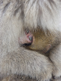Snow Monkey Baby Peeking out from Mother's Arms, Jigokudani, Japan Photographie par Ellen Anon