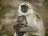 Black-Face Langur Mother and Baby, Ranthambore National Park, Rajasthan, India Photographic Print by Keren Su