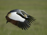 Flying Grey-Crowned Crane with Wings, Tanzania Photographie par Arthur Morris