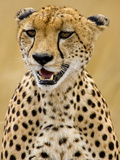Cheetah in the Brush, Maasai Mara, Kenya Photographic Print by Joe Restuccia III