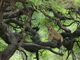 African Lioness Rests on Tree Branch, Tanzania Photographic Print by Arthur Morris