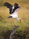 Yellow-Billed Stork Readying for Flight, Maasai Mara, Kenya Photographie par Joe Restuccia III
