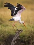 Yellow-Billed Stork Readying for Flight, Maasai Mara, Kenya Reprodukcja zdjęcia autor Joe Restuccia III