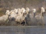 White Camargue Horses Running in Muddy Water, Provence, France Photographic Print by Jim Zuckerman