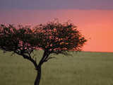 Morning Sunrise Behind a Tree in the Maasai Mara, Kenya Photographic Print by Joe Restuccia III