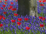 Tulips in Keukenhof Gardens, Amsterdam, Netherlands Photographic Print by Keren Su