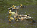 Mother Duck Leading Ducklings on the River in Keukenhof Gardens, Amsterdam, Netherlands Photographic Print by Keren Su