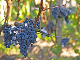 Ripe Bunches of Merlot Grapes, Chateau La Grave Figeac, Saint Emilion, Bordeaux, France Photographic Print by Per Karlsson