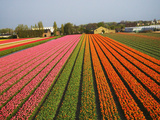 Tulip Lands, Leiden Area, Netherlands Photographic Print by Keren Su