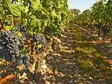 Cabernet Sauvignon Vines, Chateau Belgrave, Haut-Medoc, Grand Crus Classee, France Photographic Print by Per Karlsson