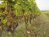 Semillon Grapes with Noble Rot on Vines, Chateau d'Yquem, Sauternes, Bordeaux, Gironde, France Photographic Print by Per Karlsson