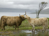 Highland Cows Courting and Grooming, Scotland Photographie par Ellen Anon