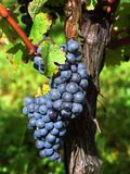 Merlot Grapes on Branch of a Vine, Bergerac, Bordeaux, Gironde, France Photographie par Per Karlsson