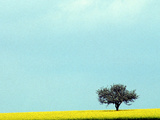 Lone Tree in Field of Rapeseed, Germany Photographic Print by Russell Gordon