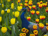 Peacock with Tulips, Keukenhof Gardens, Amsterdam, Netherlands Photographic Print by Keren Su