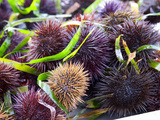 Street Market Stall with Sea Urchins Oursin, Sanary, Var, Cote d'Azur, France Photographic Print by Per Karlsson