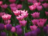 Tulips in Keukenhof Gardens, Amsterdam, Netherlands Photographic Print by Keren Su
