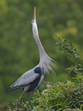 Great Blue Heron Displaying the Sky Point Courtship Ritual Photographic Print by Arthur Morris