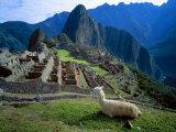 Llama Rests Overlooking Ruins of Machu Picchu in the Andes Mountains, Peru Reprodukcja zdjęcia autor Jim Zuckerman