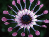 Close-up of Spoon Daisy or Nasinga Purple Flower, Maui, Hawaii, USA Photographic Print by Nancy & Steve Ross