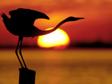 Silhouette of Great Blue Heron Stretching Neck at Sunset, Fort De Soto Park, St. Petersburg Photographic Print by Arthur Morris.