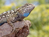 Close-up of Male Western Fence or Blue Belly Lizard, Lakeside, California, USA Photographie par Christopher Talbot Frank