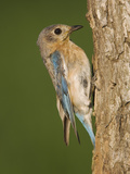 Eastern Bluebird at Nesting Cavity, Willacy County, Rio Grande Valley, Texas, USA Photographic Print by Rolf Nussbaumer