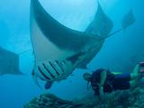 Manta Rays with Diver, Yap Island, Caroline Islands, Micronesia Fotografie-Druck von Amos Nachoum