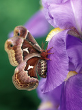Cecropia Moth on Iris in Garden Photographie par Nancy Rotenberg