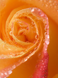 Rose Close-up with Dew Photographic Print by Nancy Rotenberg