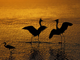 Silhouettes of Reddish Egrets Conduct Mating Dance in Gold-Colored Water Photographic Print by Arthur Morris