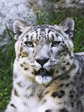 Portrait of Snow Leopard at the Sacramento Zoo, Sacramento, California, USA Photographic Print by Dennis Flaherty