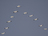 Snow Geese Flying in V-Formation Photographie par Arthur Morris